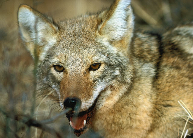 Coyotes Playing Chicken With Cars Are Tripping On Magic Mushrooms coyote3
