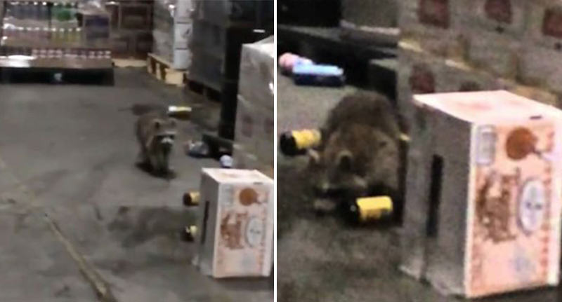 This Drunk Raccoon Probably Had A Wilder New Years Party Than You drunk raccoon FB