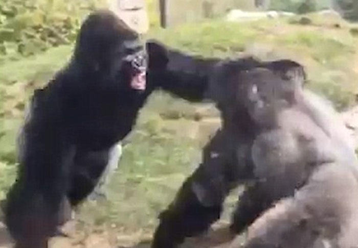 Two Gorillas Go Hard In Video Of Brutal Boxing Match fight1 2