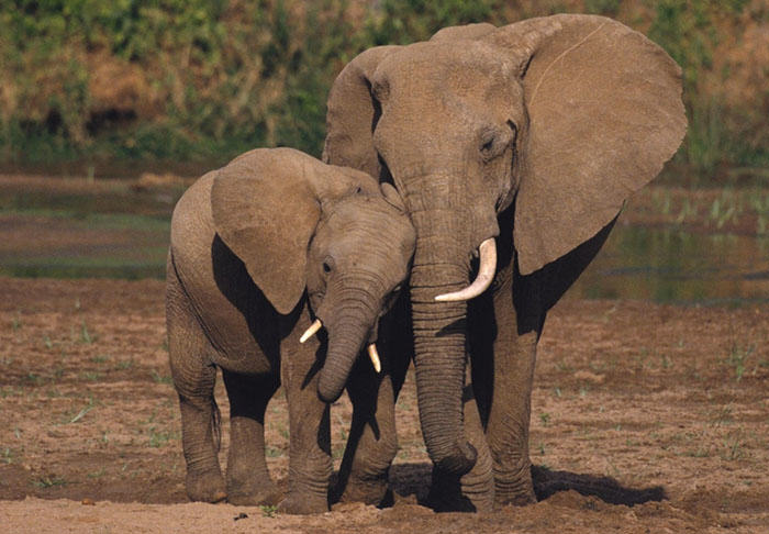 Hong Kong Have Just Delivered Some Bad News For Ivory Poachers ivory1