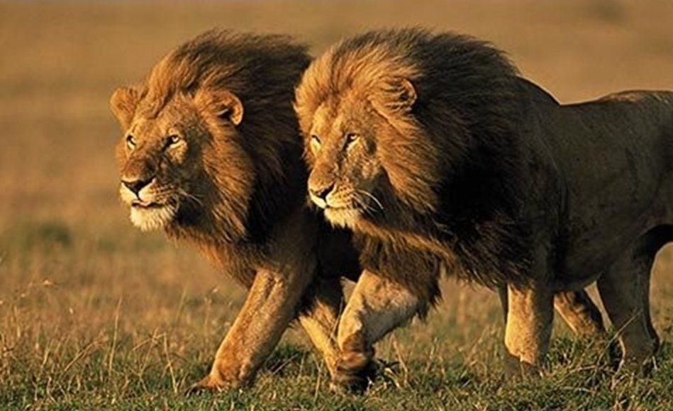 Outrage As Controversial Raffle Offers Winner Chance To Shoot A Lion lion raffle 1