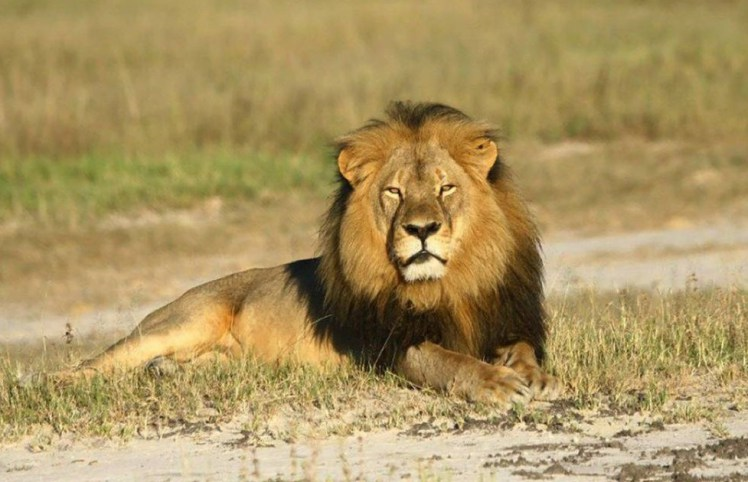 Outrage As Controversial Raffle Offers Winner Chance To Shoot A Lion lion raffle 2