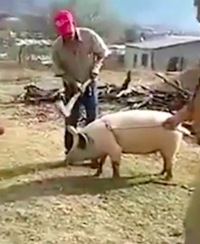 Farmer Feels Swift Justice Of Karma As He Tries To Kill A Pig With An Axe pig3