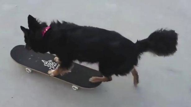 Watch This Multi Talented Skateboarding Dog Paint Banksy Like Pictures For Charity ruby2