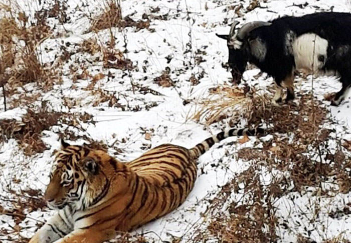 This Russian Lawyer Thinks The Tiger Goat Friendship Is Gay Propaganda tiger goat web thumb