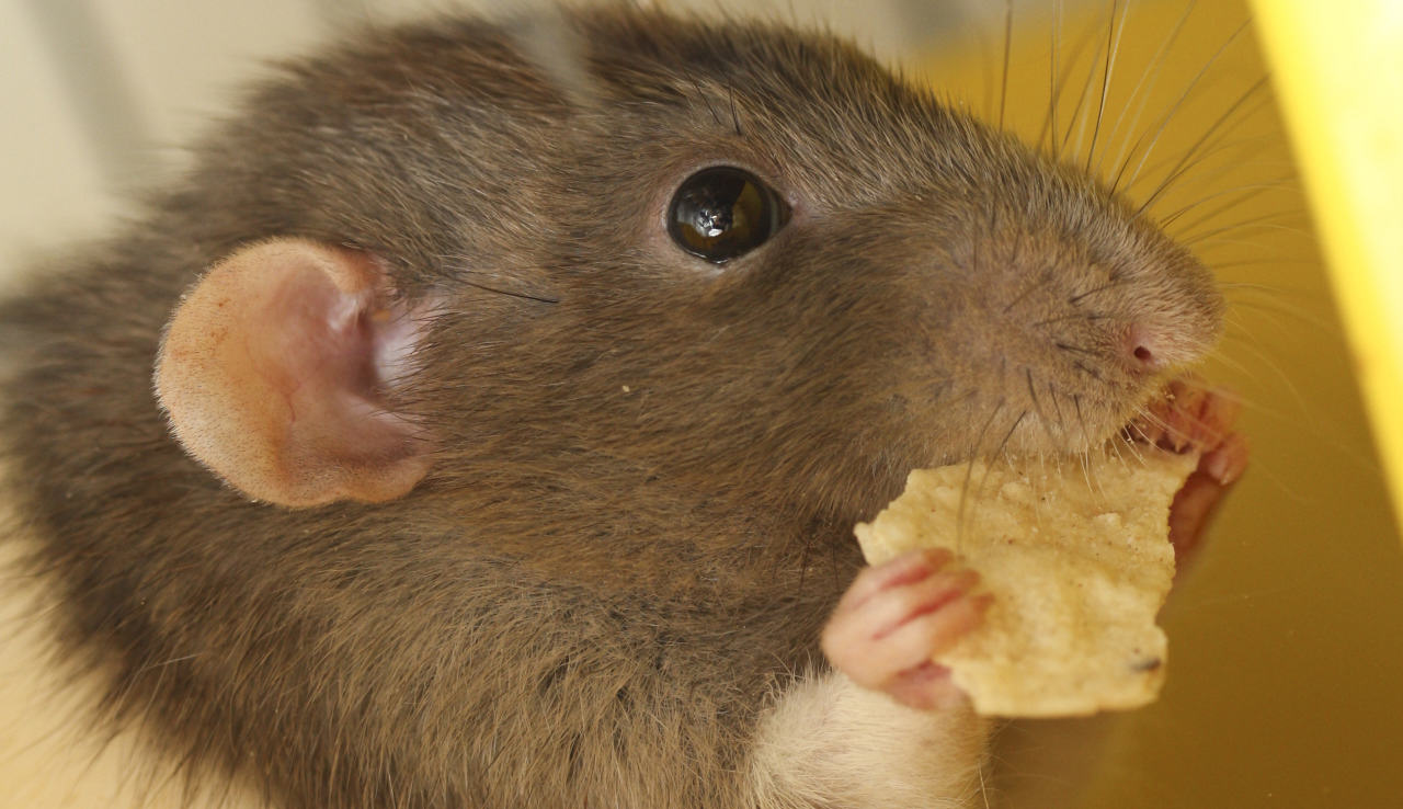 Disgusting Story Of Man Who Accidentally Shared His Crisps With A Rat tumblr mgi0ucXosI1qfk7ypo1 1280