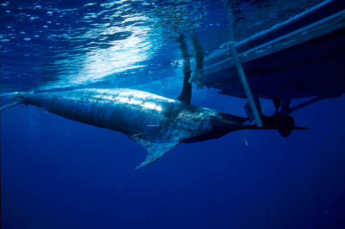 It Turns Out Endangered Bluefin Tuna Goes For A F*cking Ridiculous Price tuna1