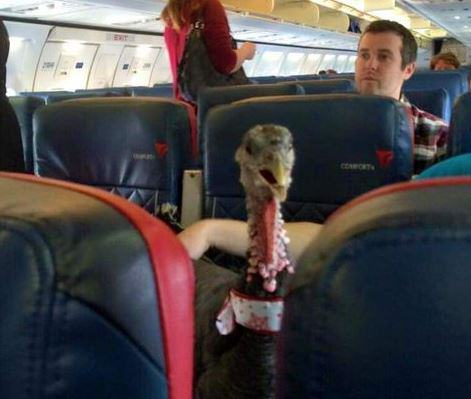 Someone Actually Brought Their Emotional Support Turkey On A Plane With Them turkey2