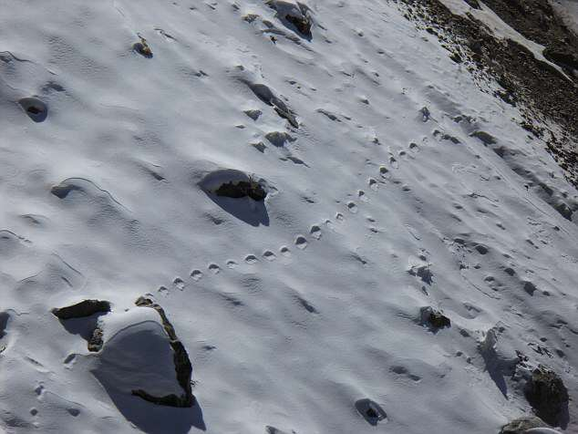 Has A British Explorer Proved The Existence Of The Legendary Yeti? 30A0AD6400000578 3425663 image a 1 1454279007167