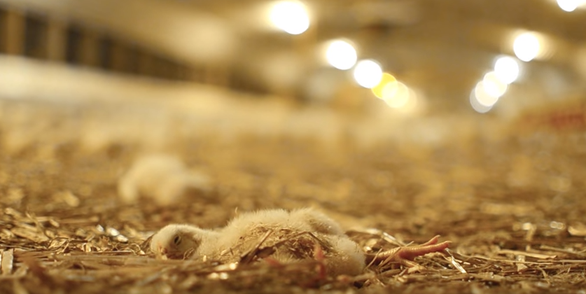 Horrific Undercover Footage 'Shows How Young Chickens Are Treated In Factories' Screen Shot 2016 02 27 at 14.26.32