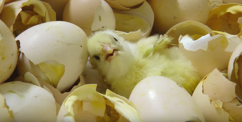 Horrific Undercover Footage 'Shows How Young Chickens Are Treated In Factories' Screen Shot 2016 02 27 at 14.29.47