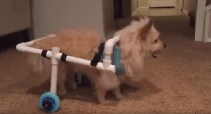 Guy Builds Awesome Homemade Wheelchair For Disabled Dog benny1