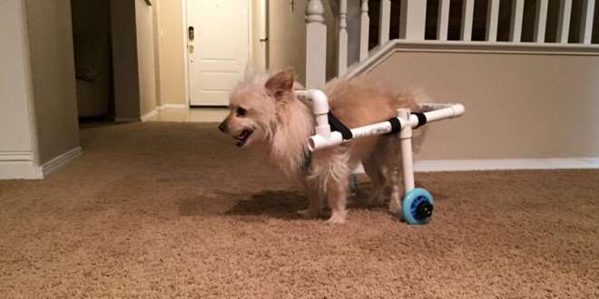 Guy Builds Awesome Homemade Wheelchair For Disabled Dog benny2