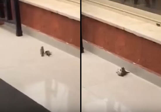 Bird Saves Its Friend With Kiss Of Life After Flying Straight Into Window bird 1