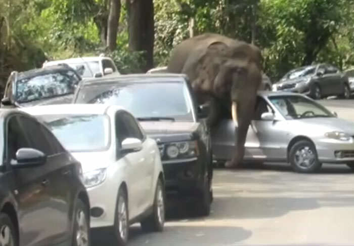 Elephant Goes On Rampage After Being Scorned By Mate elephant1