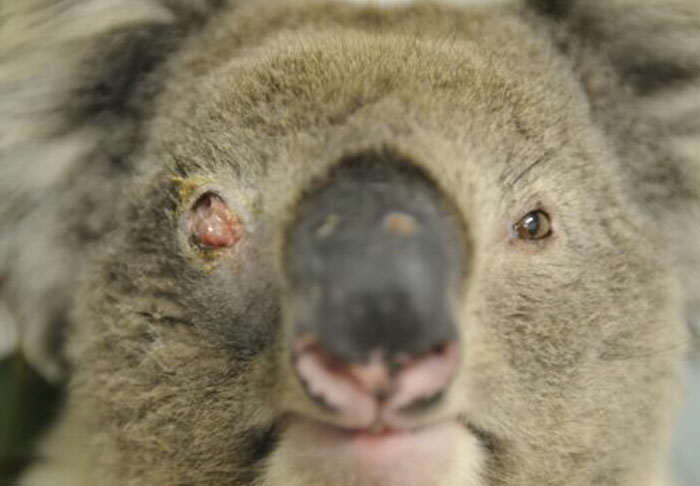This Scientist Wants To Go On A Koala Killing Spree