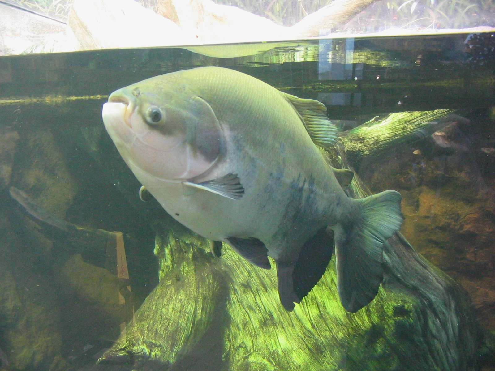 Testicle Eating Fish Could Be Heading For The UK pacu 2