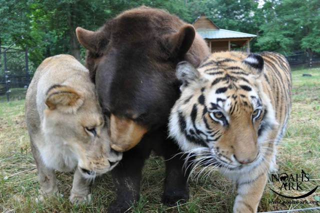 Story Of How This Lion, Tiger And Bear Became Brothers Will Melt Your Heart 12249743 10156278481995088 3379594319668669741 n 640x426