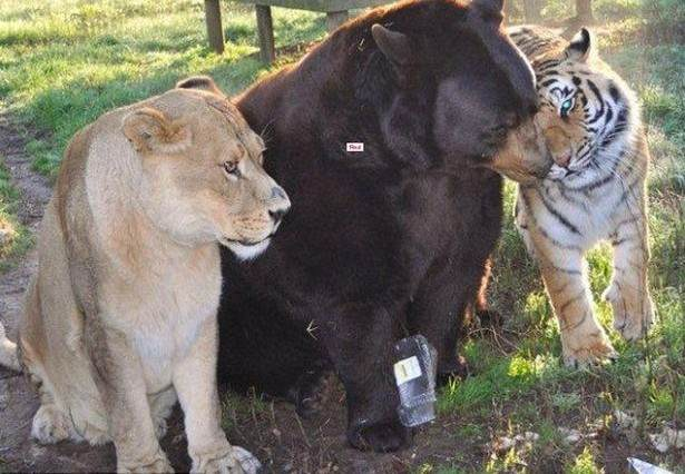 Story Of How This Lion, Tiger And Bear Became Brothers Will Melt Your Heart Lion tiger and bear living in a Georgia animal shelter 615x426
