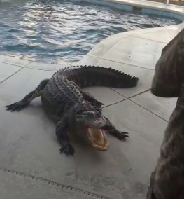Watch This Guy Lasso A 9 Foot Alligator In Bare Feet Screen Shot 2016 03 07 at 17.10.39 1
