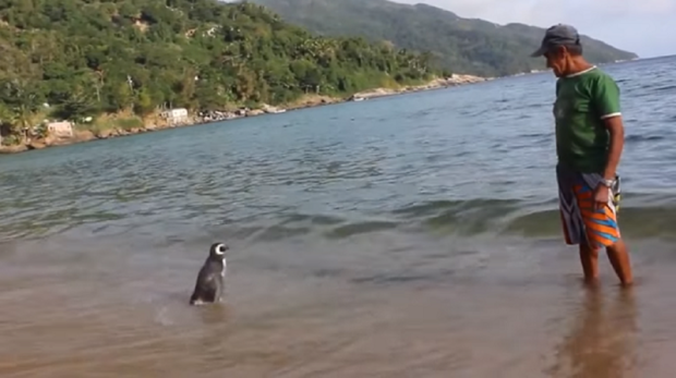 Loyal Penguin Swims Thousands Of Miles Every Year To Visit His Rescuer ad199222519brazilian man an