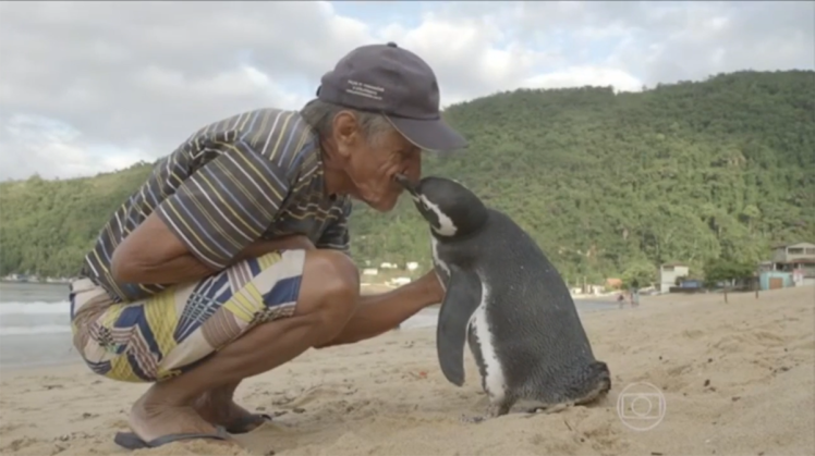 Loyal Penguin Swims Thousands Of Miles Every Year To Visit His Rescuer ad199230264a penguin called