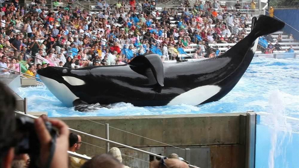 Heres What Will Happen To SeaWorlds Last Generation Of Killer Whales blackfish