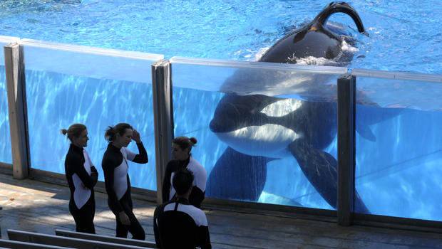 Heres What Will Happen To SeaWorlds Last Generation Of Killer Whales blackfish2