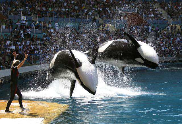 Heres What Will Happen To SeaWorlds Last Generation Of Killer Whales blackfish3