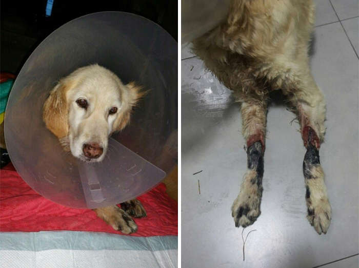 Incredible Recovery Of Puppy Who Lost All Four Paws In Korean Meat Market dog3
