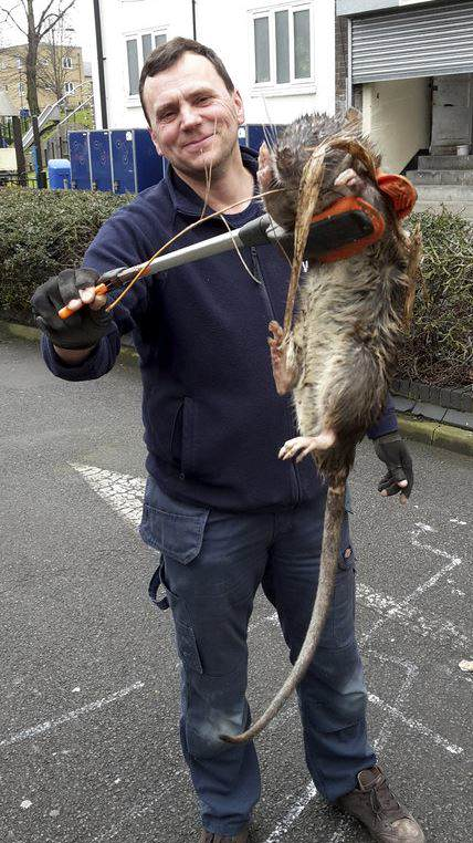 Holy Sh*t This Giant Rat Was Just Found In UK Streets kk