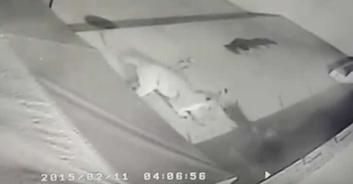 Dog Survives Incredible Attack By Mountain Lion lion2