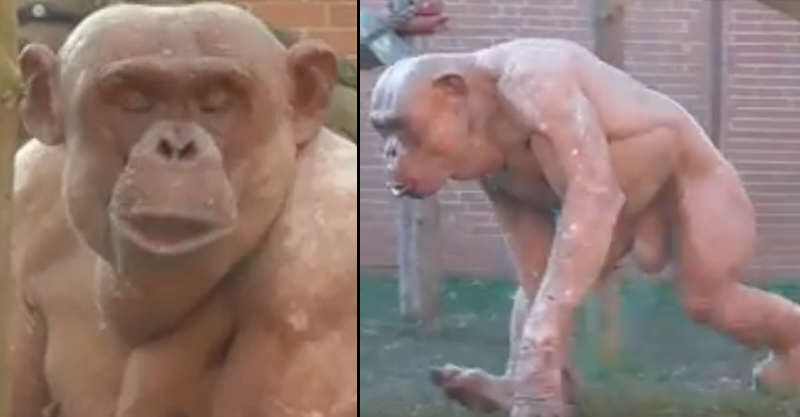 Bald And Ripped Chimps Start Mass Brawl At British Zoo
