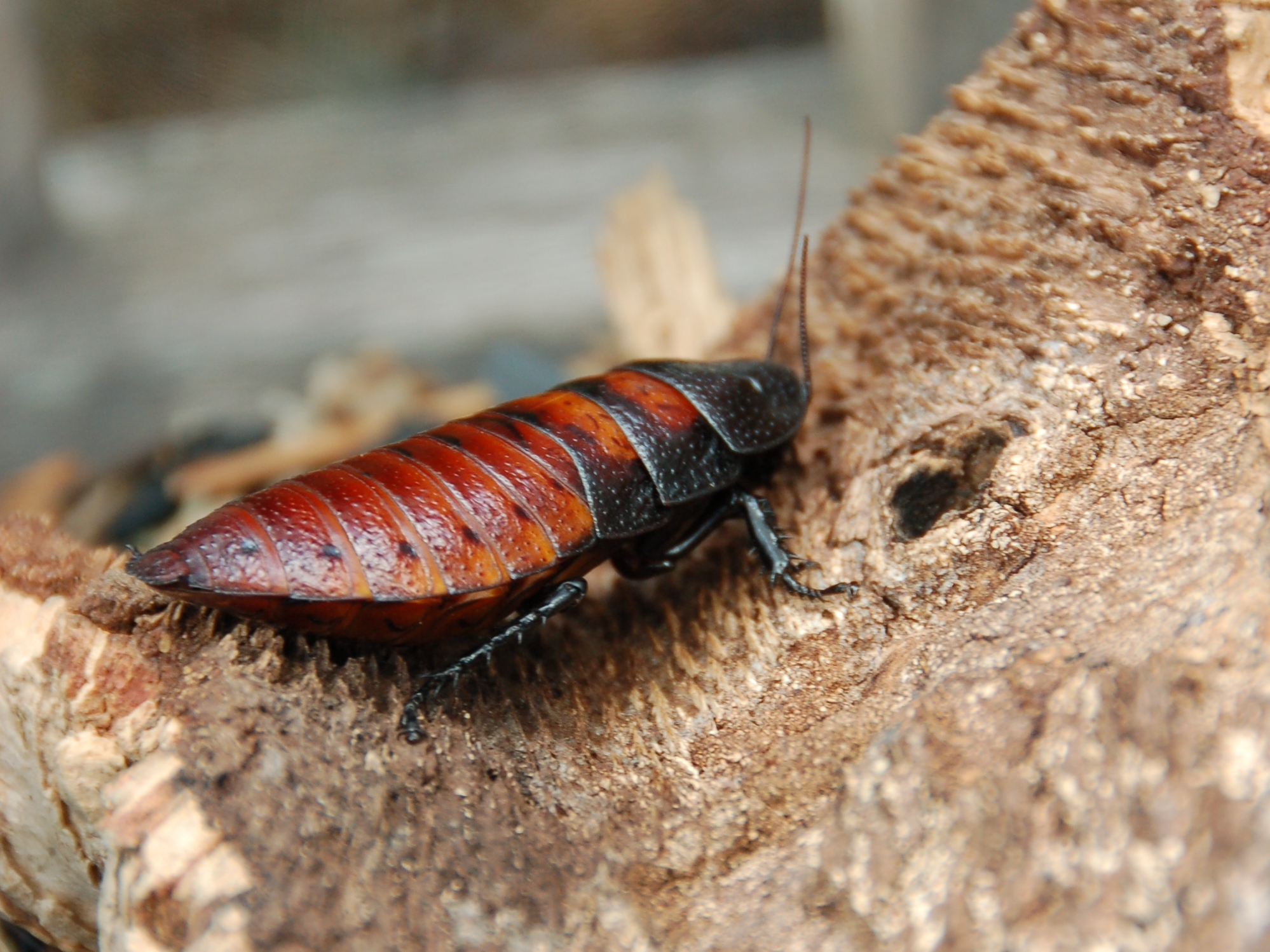 This Zoo Will Name A Cockroach After Your Ex For You Female Madagascar hissing cockroach