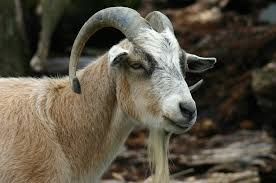 Mystery Of The Mythical Goat Born With The Face Of A Human Baby %name