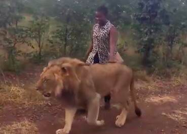 Woman Goes For Casual Stroll With Lion To Give Him Important Message lion1