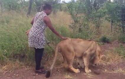Woman Goes For Casual Stroll With Lion To Give Him Important Message lion4