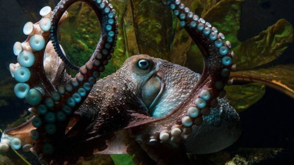 The Story Of This Octopuss Real Life Great Escape Is Incredible octopus
