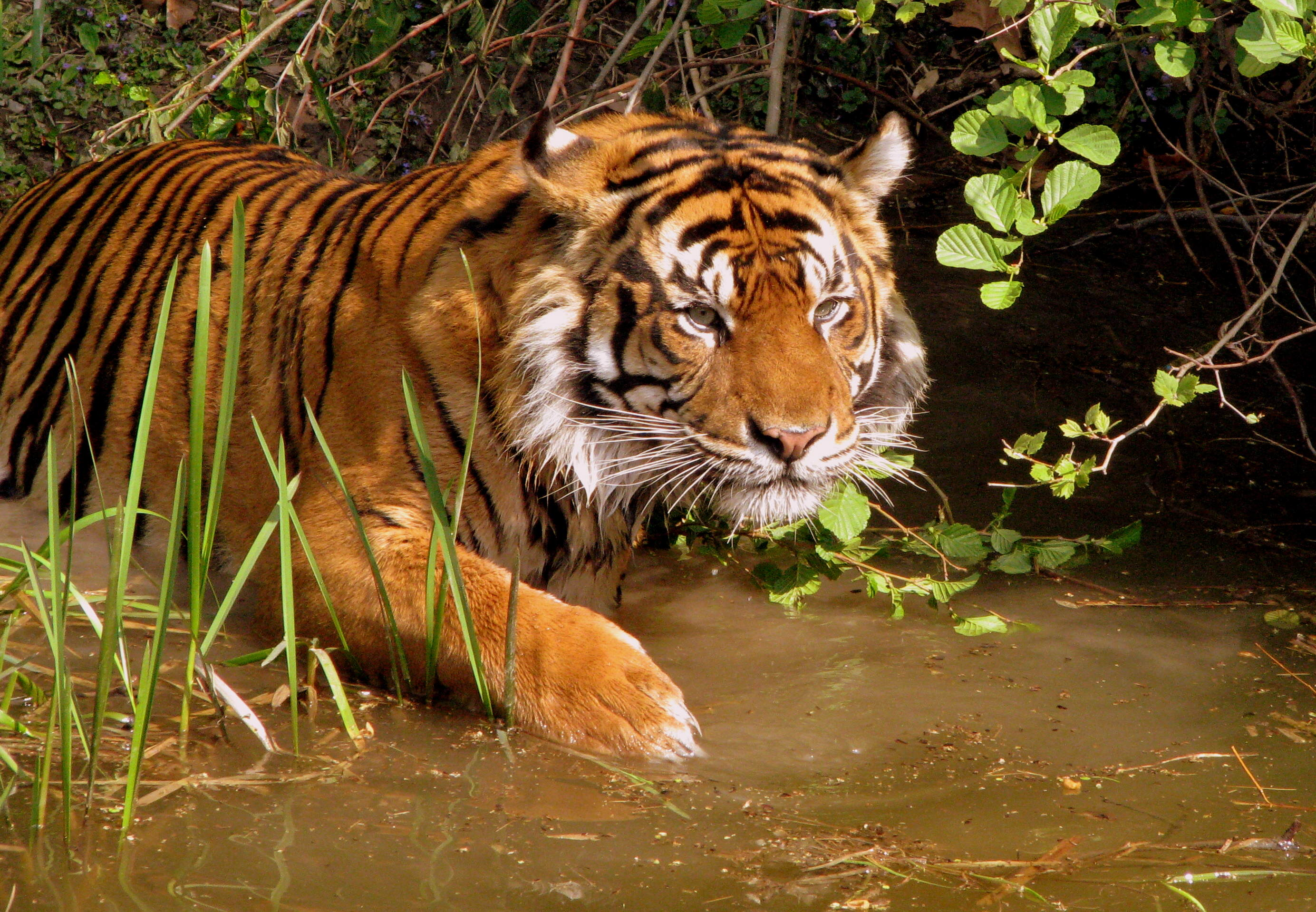 There Could Finally Be Some Good News For Endangered Tigers tiger3