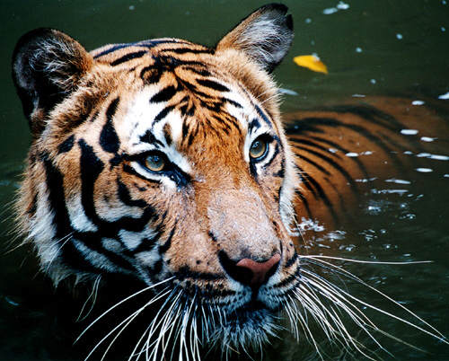 There Could Finally Be Some Good News For Endangered Tigers tiger4