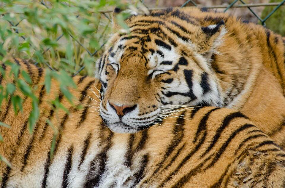 There Could Finally Be Some Good News For Endangered Tigers tiger5