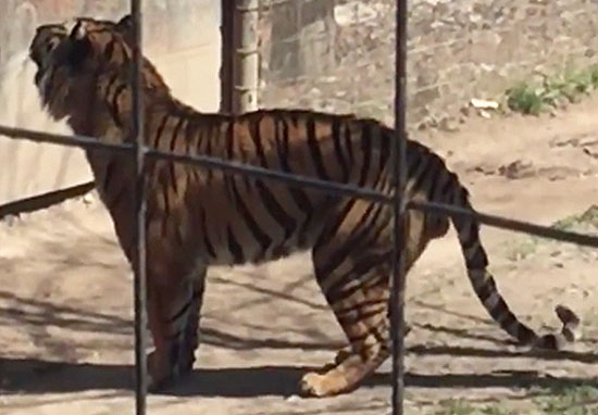 Footage Shows Absolute Idiot Jump Tiger Fence At Zoo To Get Her Hat tigerweb2