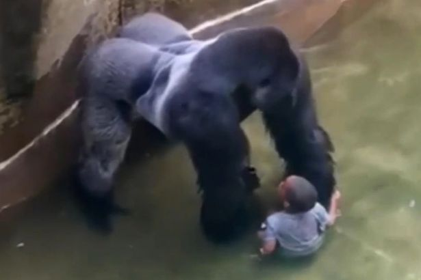 New Footage Suggests Gorilla Was Trying To Protect Boy VID Harambe a male silverback gorilla at Cincinnati Zoo 2