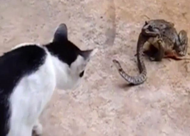 Bizarre Footage Shows Cat Fight Snake That Is Being Eaten Alive By Toad catsnake1 1