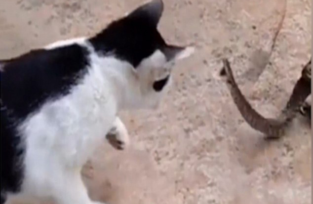 Bizarre Footage Shows Cat Fight Snake That Is Being Eaten Alive By Toad catsnake2