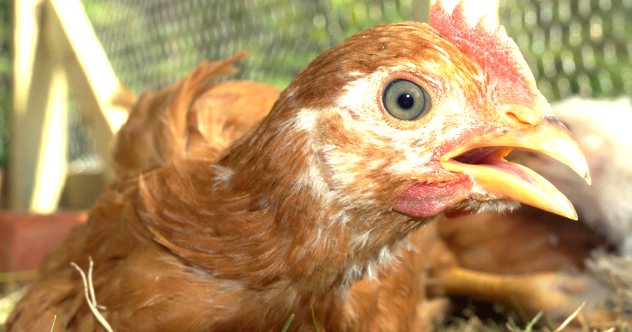 Doctors Reveal Most Amazing Excuses Patients Give For Sex Injuries chicken