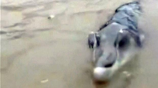 Chinese Fishermen Shocked After Catching Weird Crocodolphin croco1
