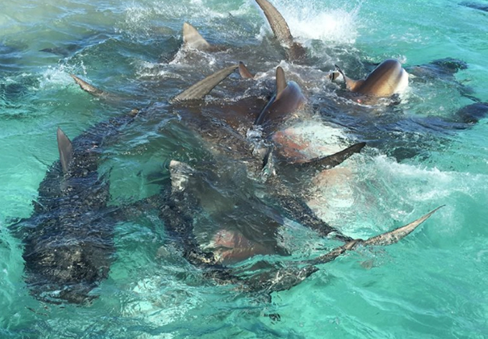 Drone Captures Incredible Footage Of Massive Tiger Shark Feeding Frenzy