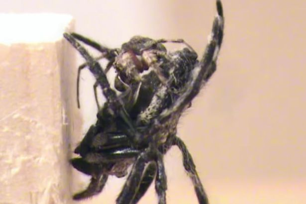 Giant Female Spiders Are Forcing Males To Perform Oral Sex, A Lot spider1