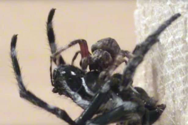 Giant Female Spiders Are Forcing Males To Perform Oral Sex, A Lot spider2